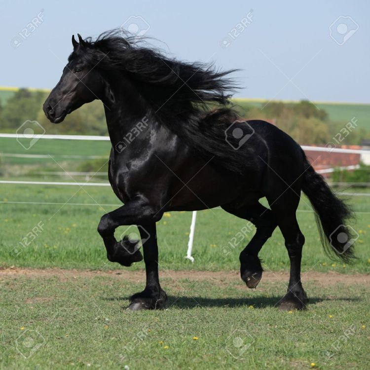 18947219-gorgeous-friesian-stallion-with-long-mane-running-on-pasturage-in-spring-stock-photo