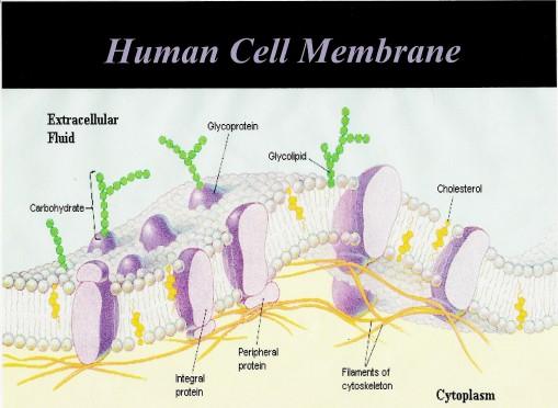 Human_Cell_Membrane