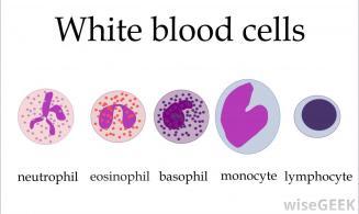 white-blood-cells-against-white